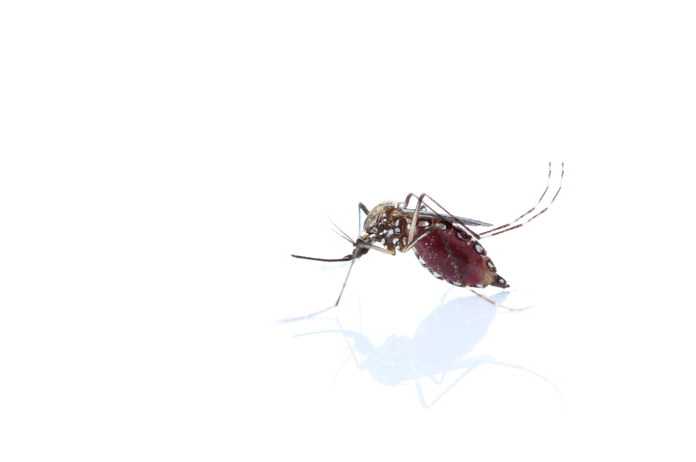 mosquito-chikunguya