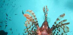 El pez escorpión vive semienterrado en el fondo arenoso.