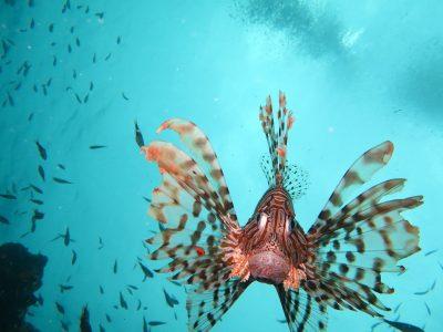 ¿Es peligroso el pez escorpión?