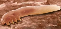 microorganismo rosacea
